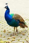 -absolutely_free_photos-original_photos-peacock-bird-3333x5000_16537